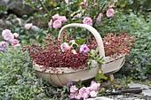 Korb mit frisch geschnittenen Rosa (Rosen) und Hagebutten, Nepeta