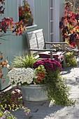 Alte Zinkwanne bepflanzt mit Chrysanthemum 'Elys Blanc' weiß , 'Kilo' magenta
