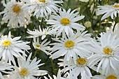 Leucanthemum superbum 'Sunny Side Up' (Margeriten)