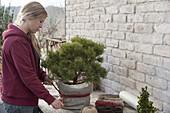 Pinus mugo 'Mops' (Zwerg-Kiefer) winterfest einpacken