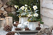 Helleborus niger 'Anja', 'Christmas Star' (Christrosen) in silbernen Uebertoep