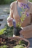 Frau bepflanzt Terracotta - Schale mit Fetthenne und verschiedenen Thymian