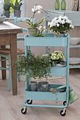 Hellblauer Servierwagen mit Zimmerpflanzen