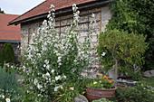 Arznei-Eibisch im Garten