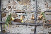 Zwiebeln an Holz-Stangen zum Trocknen aufgehängt