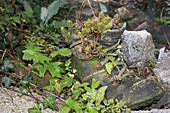 Alter Schuh bepflanzt mit Tripmadam und Felsenfetthenne