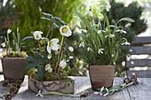 Helleborus niger (Christrosen) und Galanthus nivalis (Schneeglöckchen)