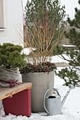Winterterrasse mit Pinus mugo 'Mops' (Kiefer) mit Winterschutz