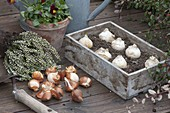 Zwiebelblumen im Herbst pflanzen : Holz-Kiste mit Zwiebeln von Allium