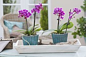 Mini-Phalaenopsis (Malayenblume, Schmetterlingsorchidee)