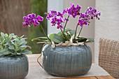 Phalaenopsis (Malayenblume, Schmetterlingsorchidee) mit Treibholz