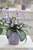 Chirita 'Destiny' , Neuheit mit violetten Glockenblueten