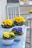 Gelbe und blaue Primula acaulis (Primeln) in emaillierten Gefaessen