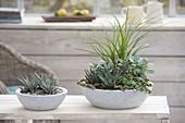 Zimmerpflanzen in Betonschalen : Haworthia fasciata 'Big Band'