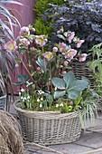 Korb mit Helleborus x hybrida 'Penny's Pink' (Lenzrosen), Galanthus nivalis