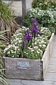 Holzkiste mit Saxifraga arendsii (Moossteinbrech) und Hyacinthus 'Purple