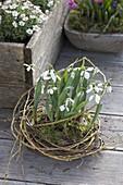 Schneeglöckchen im Weiden-Nest