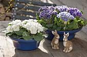 Primula Siroccoco 'Blue' 'Purple' (Gerueschte Primeln)