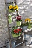 Primula acaulis und elatior (Primeln) und Galanthus (Schneeglöckchen)