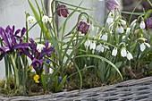 Korbkasten mit Galanthus nivalis (Schneeglöckchen), Iris reticulata