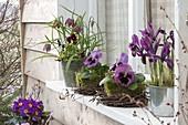 Iris reticulata (Netziris), Fritillaria meleagris (Schachbrettblumen), Viola