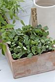 Frisch aufgegangene Samen von Asia-Rettich 'Green Luobo'