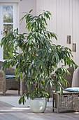 Ficus binnendijkii 'Amstel King' (Zimmerfeige , Gummibaum)