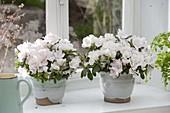 Rhododendron simsii (Zimmerazaleen) in handgetoepferter Keramik