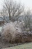 Gefrorenes Staudenbeet mit Sedum telephium (Fetthenne), Chrysanthemum