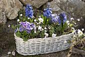 Weisses Körbchen mit Hyacinthus (Hyazinthen), Primula acaulis (Primeln)