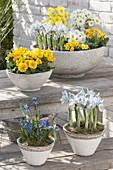 Schalen mit Fruehlingsbluehern : Primula acaulis , elatior (Primeln), Iris