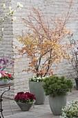 Orangefarbener Fruehlingsaustrieb von Acer palmatum 'Katsura'