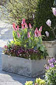 Grauer Kasten mit Saxifraga arendsii (Moossteinbrech) und Tulipa 'Plaisir'