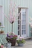 Prunus triloba (Mandelbäumchen), Hyacinthus 'Splendid Cornelia' (Hyazinthen