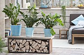 Zamioculcas zamiifolia (Gluecksfeder) als Raumteiler auf Bank mit Brennholz
