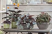 Begonia Rex 'Silver Queen' , B. listada (Blattbegonien), Calathea crocata
