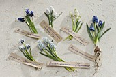 Tableau mit Muscari - Traubenhyazinthen
