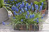 Muscari aucheri 'Blue Magic' (Traubenhyazinthen) in Holzkistchen