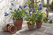 Muscari aucheri 'Blue Magic' (Traubenhyazinthen) in Terracotta - Toepfen