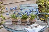 Muscari aucheri 'Blue Magic' (Traubenhyazinthen) in Tontoepfen
