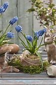 Muscari aucheri 'Blue Magic' (Traubenhyazinthen) in ausgeblasenem Ei