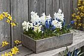 Muscari aucheri 'Blue Magic' (Traubenhyazinthen) und Hyacinthus multiflora
