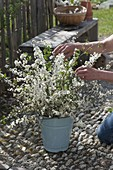 Frau steckt ländlichen Strauss aus Zweigen von Prunus spinosa