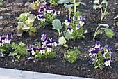 Beet im Biogarten mit Salat, Kohlrabi, Hornveilchen und Petersilie bepflanzen