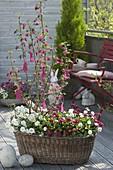 Alter Wäschekorb bepflanzt mit Fruehlingsbluehern