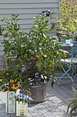 Citrus sinensis (Apfelsine, Orange) unterpflanzt mit Viola cornuta