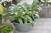 Zinkwanne mit Bärlauch (Allium ursinum)