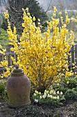 Forsythia 'Lynwood Gold' (Goldgloeckchen) unterpflanzt mit Tulipa 'Calgary'