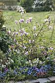 Magnolia fraseri 'Georg Henry Kern' (Magnolie)