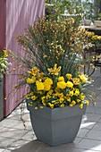 Cytisus 'Apricot Gem' (Ginster), Tulipa 'Monsella' (Tulpen), Ranunculus